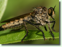 Łowik (Asilidae sp.)
